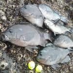 宿毛湾でチヌ釣り大会