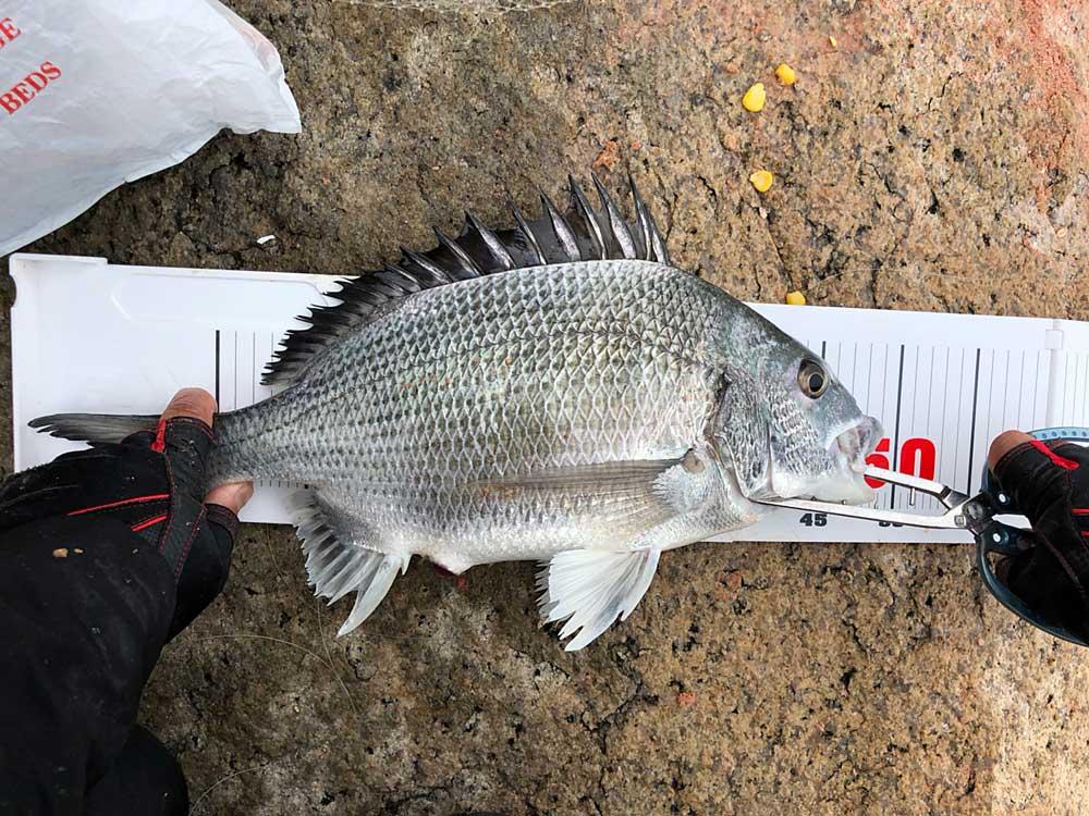 香港で釣り上げた48センチの良型白チヌ